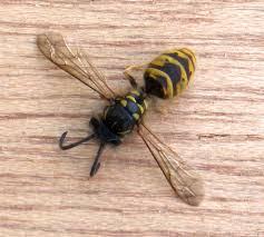 Een wespennest verwijderen Helmond en omstreken